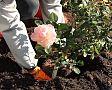 Hogyan ültessünk rózsát?