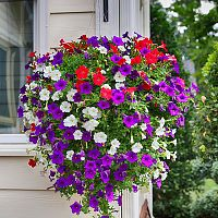 Petúnia. Egynyári növény, amely bármelyik erkély díszévé válhat!