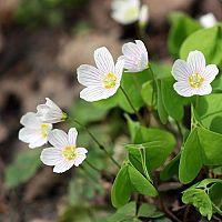 Madársóska - a gyógyhatású növény gondozása