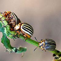 Hogyan szabaduljunk meg a burgonyabogártól?