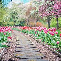 Hogyan gondozzuk a tulipánokat a kertben vagy a virágcserépben?
