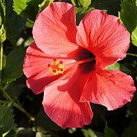 A kínai rózsa gondozása és szaporítása