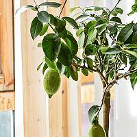 Hogyan gondozzuk a citromfát?
