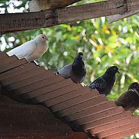 Hogyan szabaduljunk meg a galamboktól a háztetőn és az erkélyen?