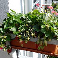 Hogyan termesszünk epret az erkélyen?