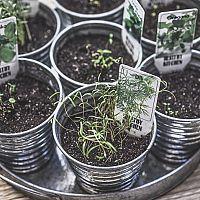 Hogyan neveljünk fűszernövényeket cserépben?