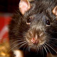 Hogyan szabaduljunk meg a patkányoktól?