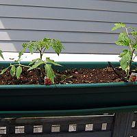 Hogyan termeszthetünk paradicsomot az erkélyen?