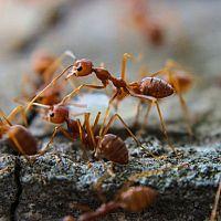 Hogyan szabaduljunk meg a hangyáktól?